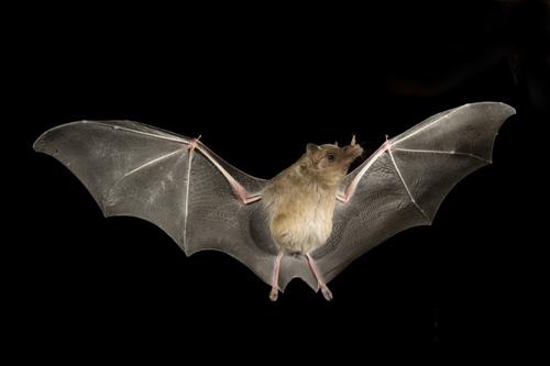 bat image