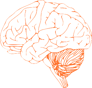 brain stem diagram