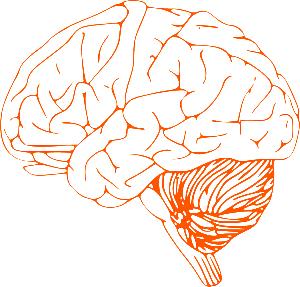 brain stem diagram