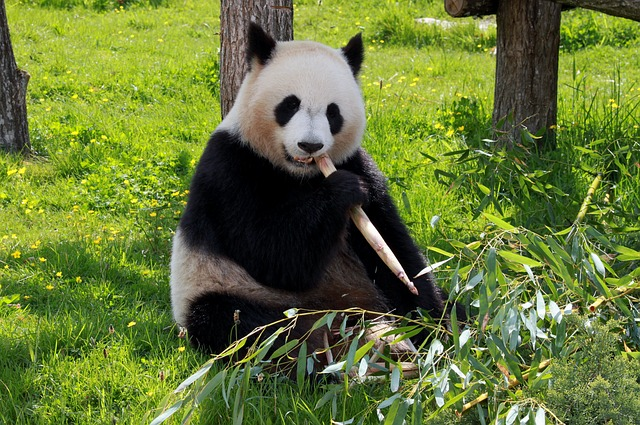 Facts About Pandas Cool Kid Facts