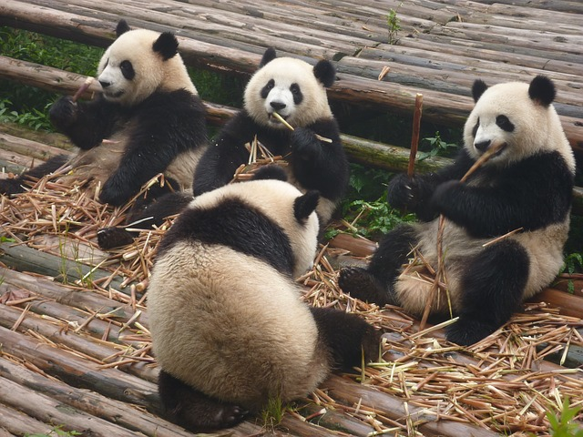 pandas munching
