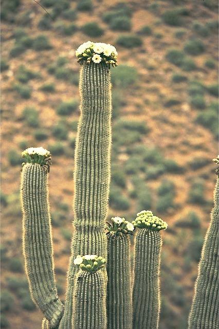 bats pollinate saguaro cactus