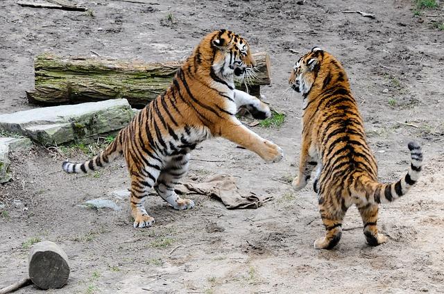 tigers having fun