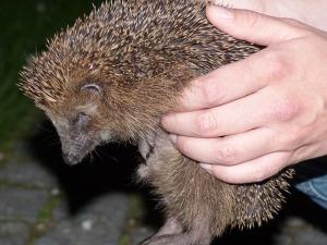 hedgehog spines