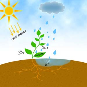 photosythesis process All organisms depend ultimately upon green plants as a source of organic nutrients  this process occurs whenever radiant energy is received by chlorophyll molecules.