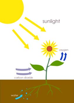 photosynthesis facts
