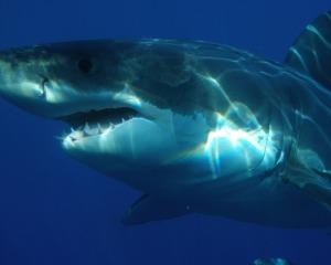 shark_teeth