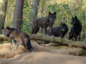 Black Forest Wolves