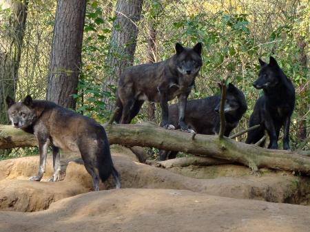 Black Forest Wolves
