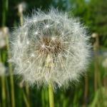 grasses-pollination