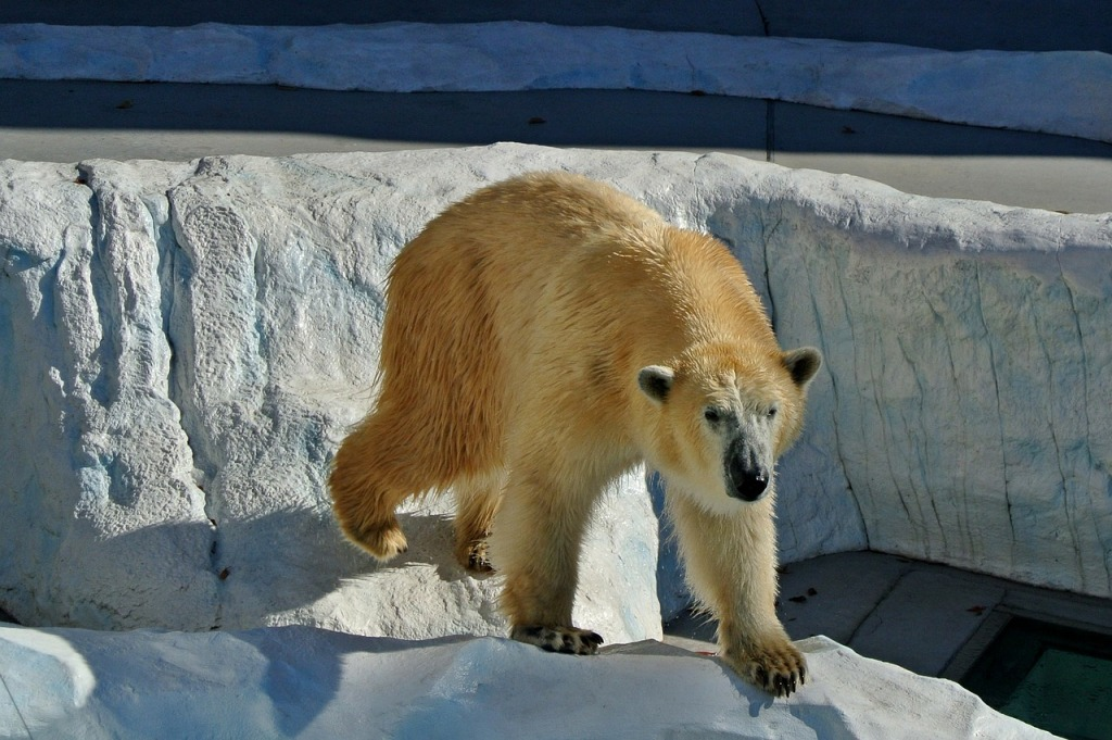 polar-bear-219880_1280
