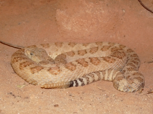 Grand_Canyon_pink_rattlesnake