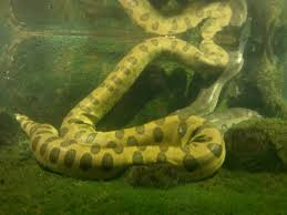 anaconda underwater