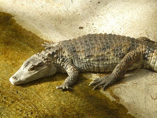 anacondas eat caimans