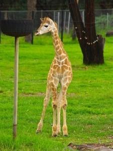 baby giraffe standing
