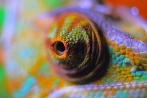 chameleon bulging eyes
