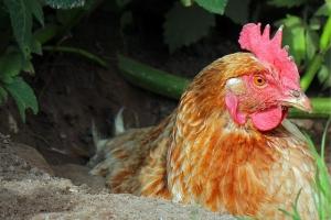 chicken tiny head