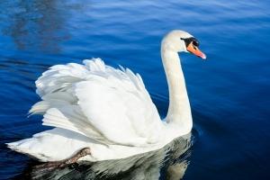 elegant swans