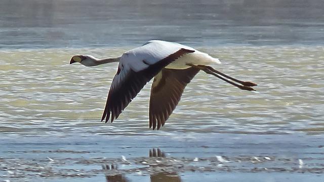 white flamingo flying
