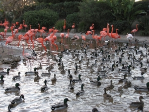 flamingos are water birds