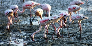 flamingos drinking