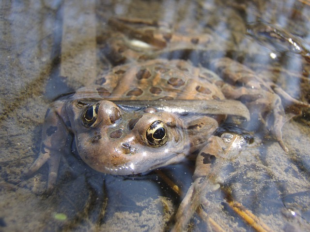 frogs absorb water through skin