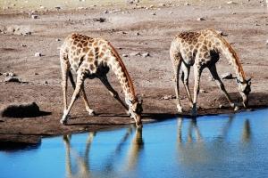 giraffes drinking water
