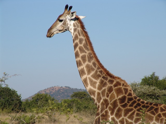 what do giraffes eat and drink