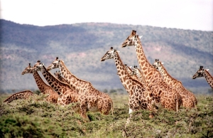 giraffes savanna