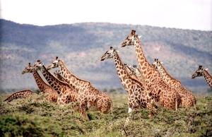 giraffes savanna