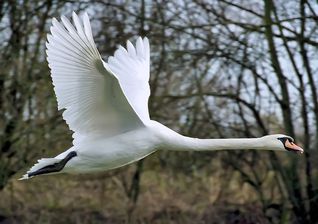 swans can fly