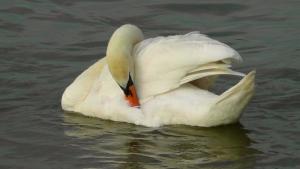 swan sleeping on water