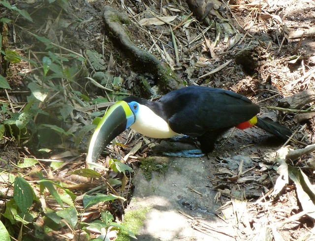 toucan habitat