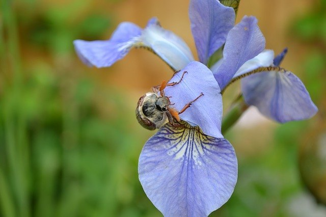 May Bug fact
