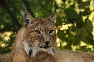 bobcat confused with lynx
