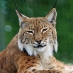 bobcat facts