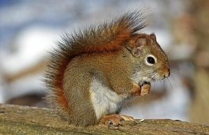 bobcats eat squirrels