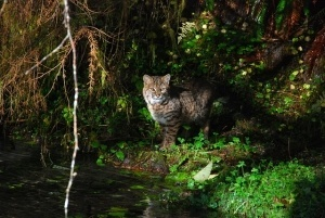 bobcats in the wild