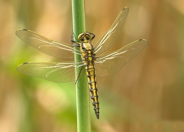 Dragonfly Facts | Cool Kid Facts