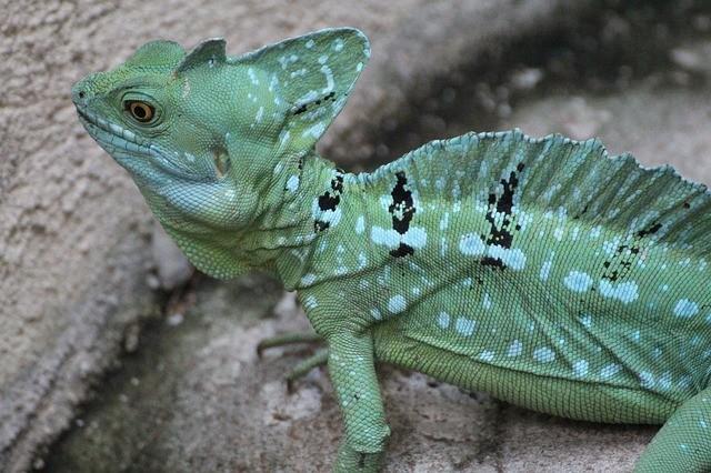 Green Basilisk Lizard facts