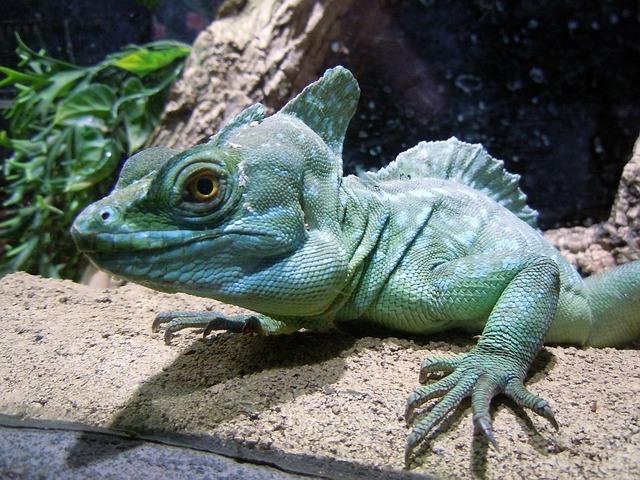 Green Basilisk Lizard