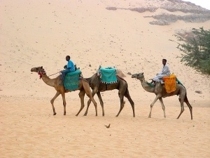 camels transporting people