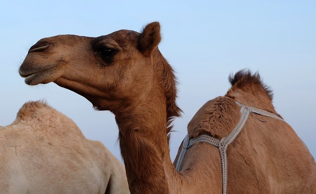 camel's humps