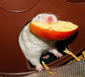 hamster eating fruit