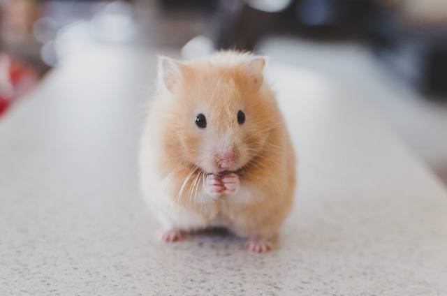hamster facts for kids