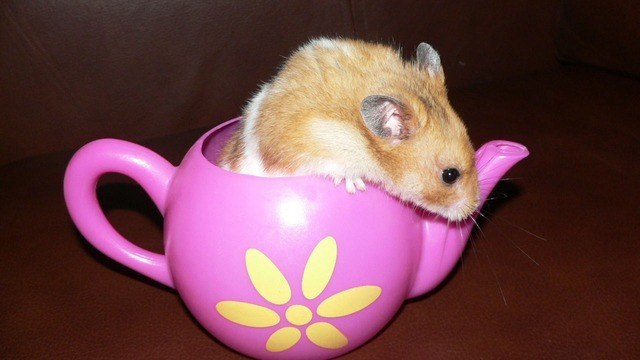 hamster facts