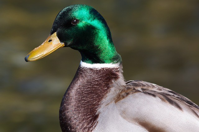 mallard duck facts