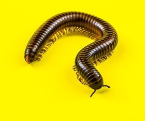 millipede facts