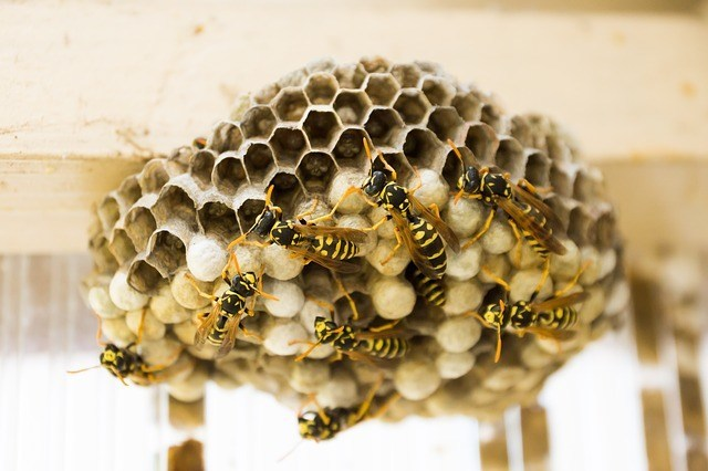wasp nest facts