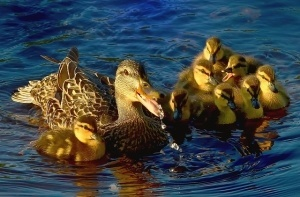 waterfowl facts